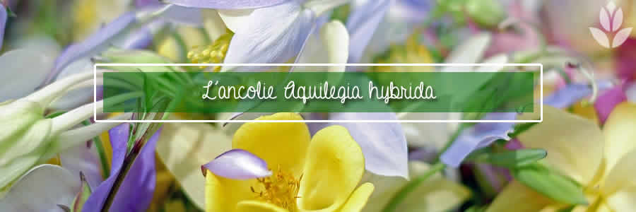 aquilegia hybrida ancolie