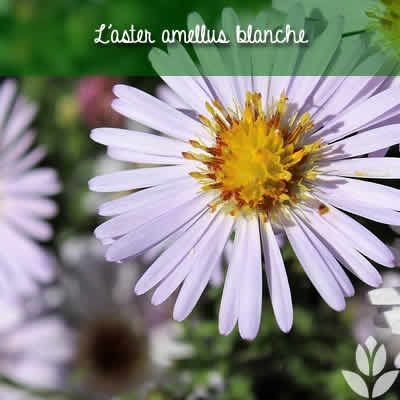 aster amellus blanche