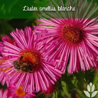 aster amellus rose
