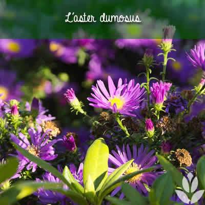 aster dumosus