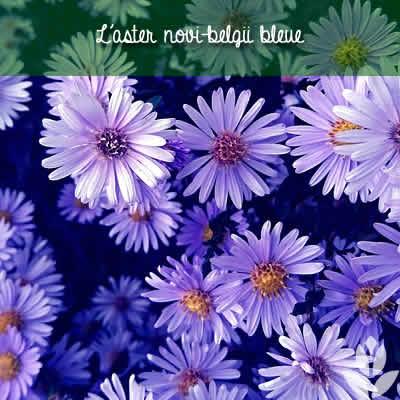aster novi belgii bleue