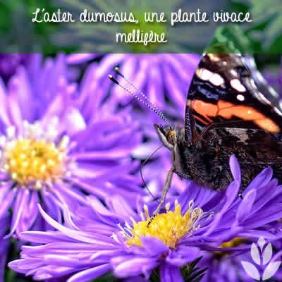 aster dumosus papillon