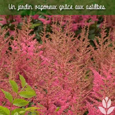astilbe jardin vaporeux