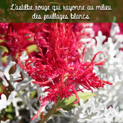 astilbe rouge et feuillage blanc