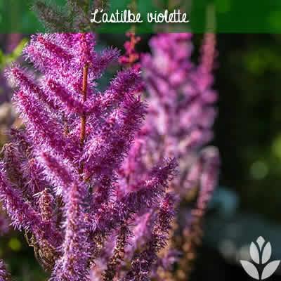 astilbe violette
