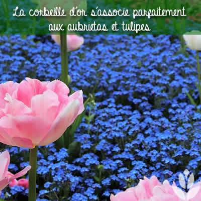 aubrietas et tulipes