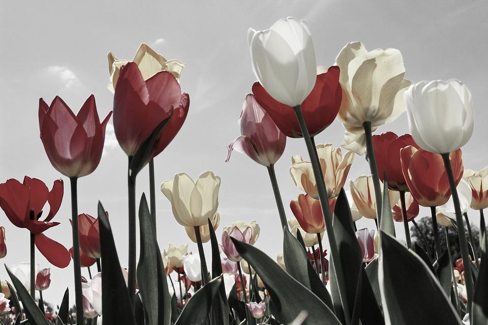 La tulipomanie