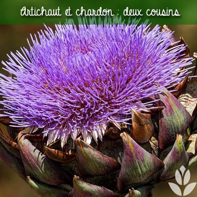 artichaut et chardon : deux cousins