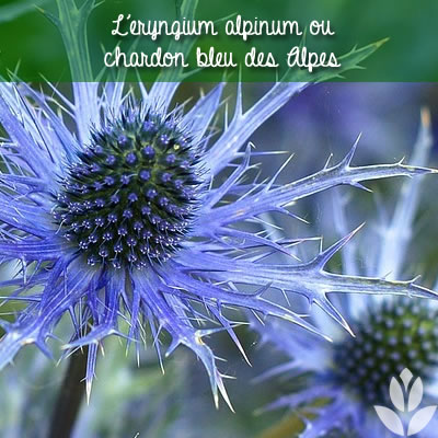 chardon bleu des alpes eryngium alpinum
