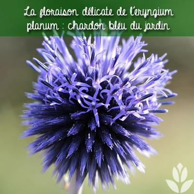 chardon bleu eryngium planum floraison