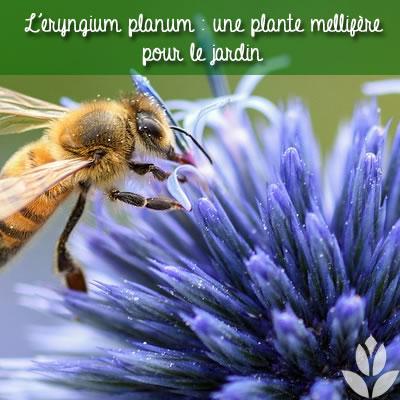 le chardon une plante mellifère qui attire les insectes butineurs