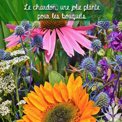 le chardon : de jolies fleurs pour bouquet