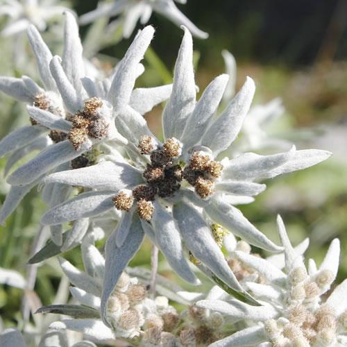 edelweiss pour le jardin