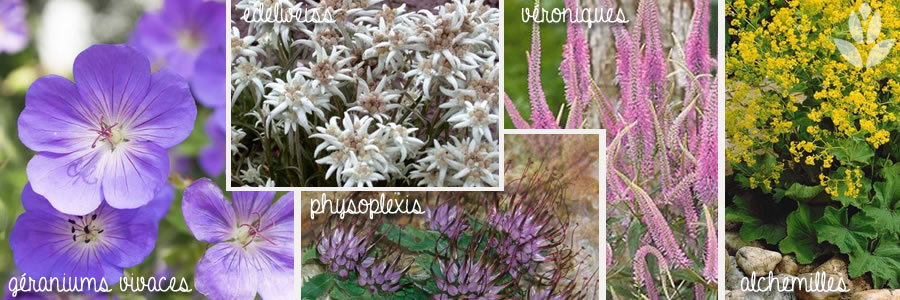 edelweiss associations végétales