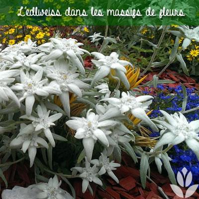 edelweiss et massif de fleurs