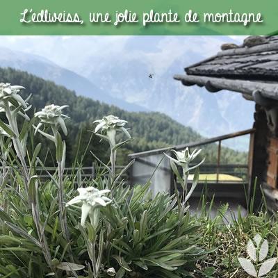 edelweiss en montagne