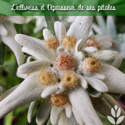 edelweiss et pétales