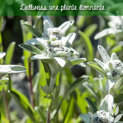 edelweiss: une plante étonnante