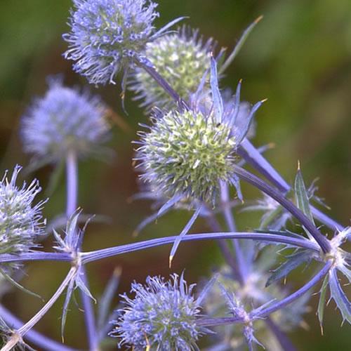eryngium ou chardon du jardin