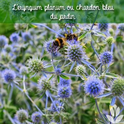 eryngium planum ou chardon bleu