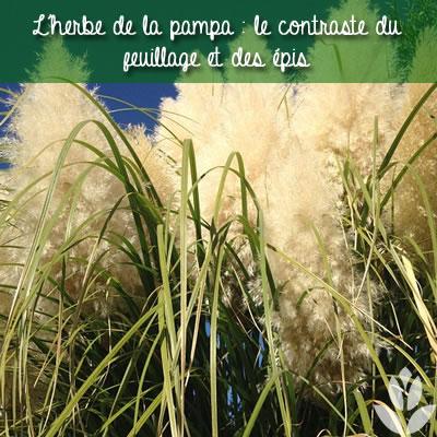 le contraste du feuillage et des épis de l'herbe de la pampa