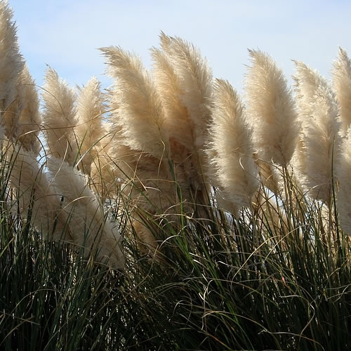 herbe des pampas