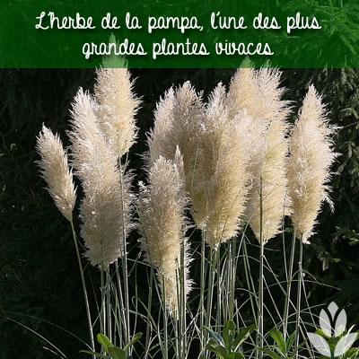 l'herbe de la pampa, l'une des plus grandes plantes vivaces