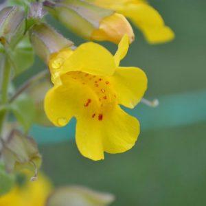 mimule ou fleur de Bach