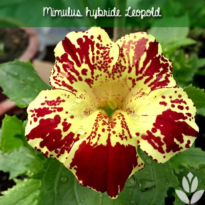 mimulus hybride leopold