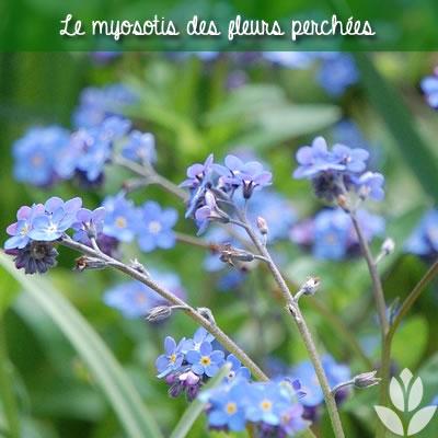les fleurs du myosotis