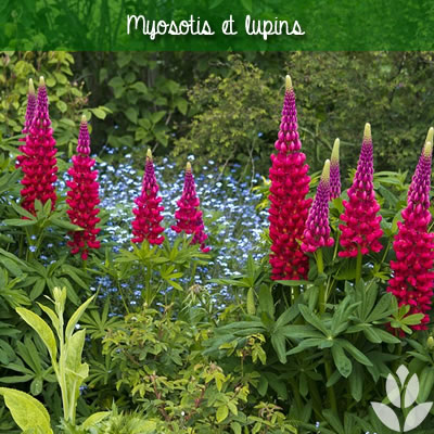 myosotis et lupins