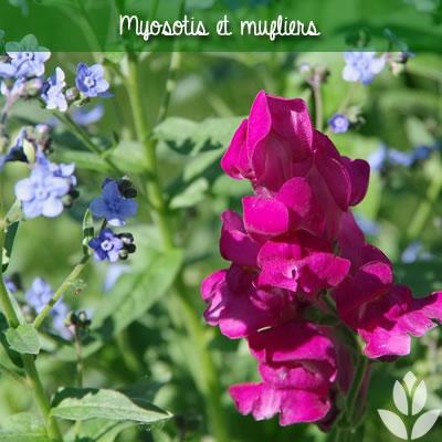 myosotis et muflier