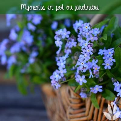 myosotis en pot