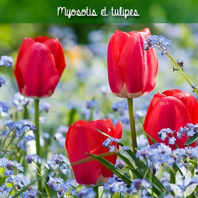 myosotis et tulipes