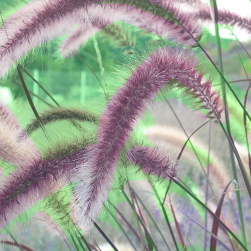 pennisetum du jardin