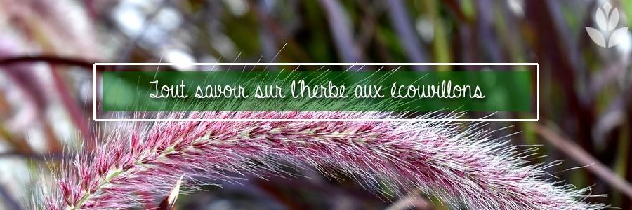 Pennisetum japonicum herbe aux écouvillons
