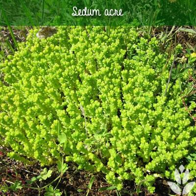 sedum acre