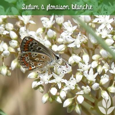 sedum à floraison blanche