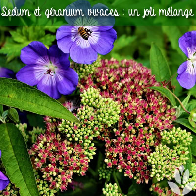 sedum et géranium vivace