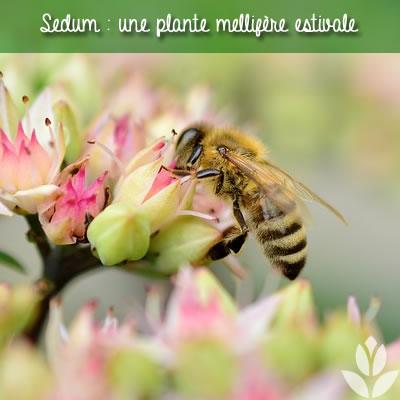 sedum mellifère