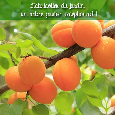 abricots et abricotier
