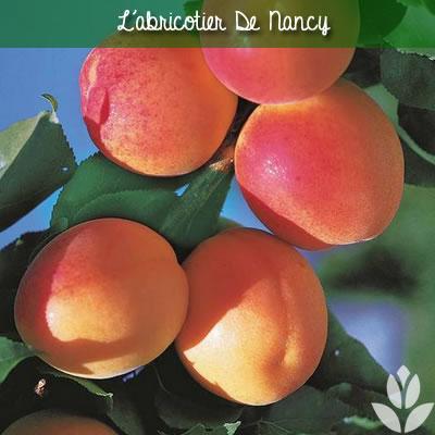 abricotier de nancy
