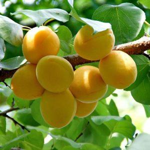 abricotier et abricots du jardin