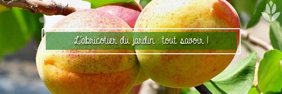 abricotier du ardin tout savoir sur la culture des abricots