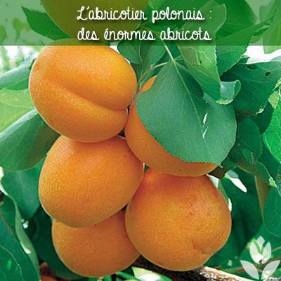 l'abricotier polonais : des énormes abricots