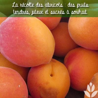 abricots récoltés