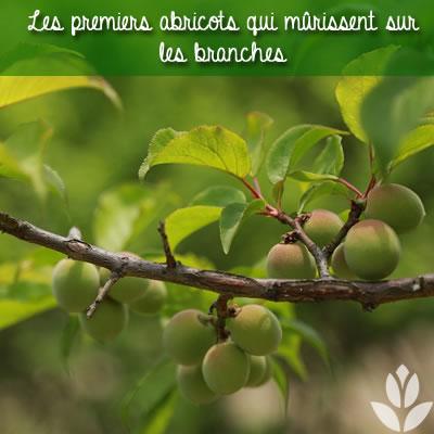 abricots sur branches