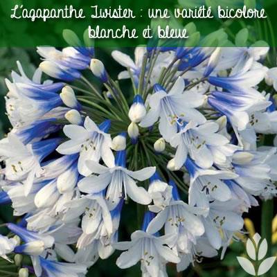 agapanthe twister bicolore blanche et bleue