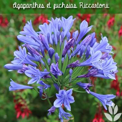 agapanthes et fuchsias riccartonii