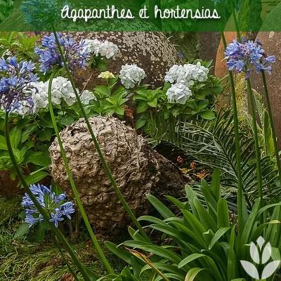 agapanthes et hortensias